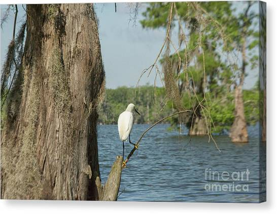 Atchafalaya Basin Canvas Print - Great White Egret by Patricia Hofmeester