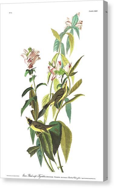 Flycatchers Canvas Print - Green Black-capt Flycatcher by John James Audubon