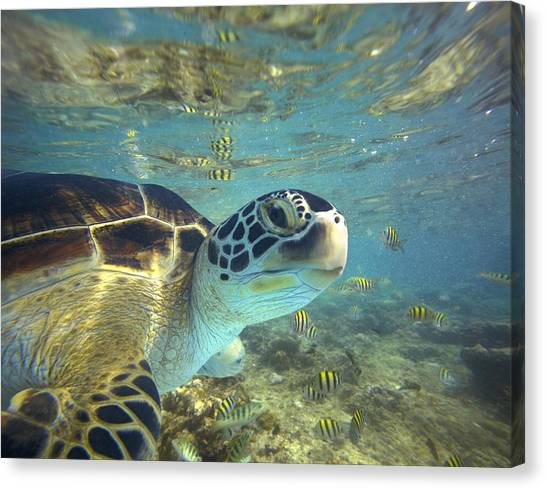Canvas Print featuring the photograph Green Sea Turtle Balicasag Island by Tim Fitzharris