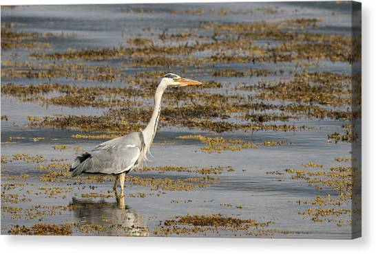 Grey Heron  Canvas Print
