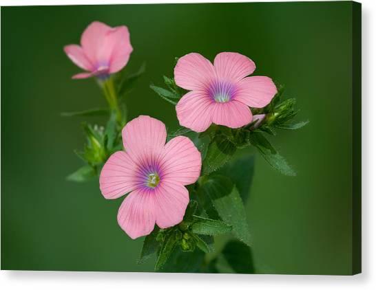 Hairy Pink Flax Canvas Print by Yuri Peress