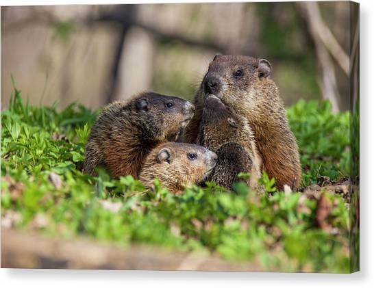 Groundhogs Canvas Print - Happy Family by Mircea Costina Photography