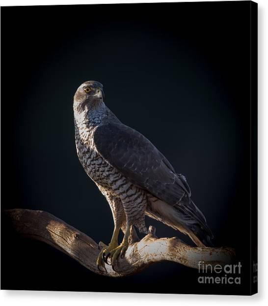 Hawk-eye Canvas Print