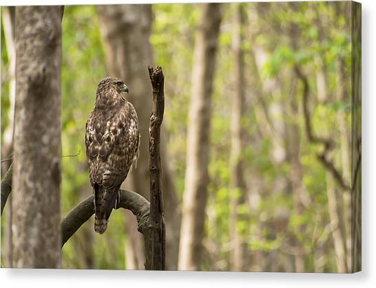 Hawk Hunting In The Woods Canvas Print