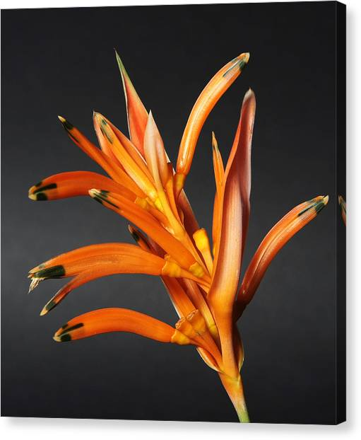 Heliconia Canvas Print by Lynn Berreitter