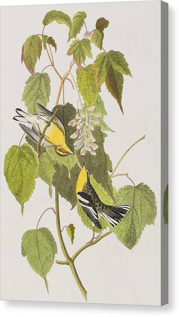 Warblers Canvas Print - Hemlock Warbler by John James Audubon