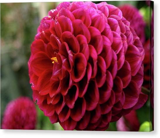 Hever Castle Dahlia Canvas Print