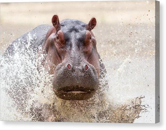 Hippos Canvas Print - Hippo by Maye Loeser