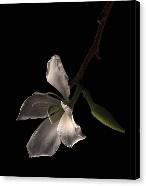 Hong Kong Orchid Canvas Print