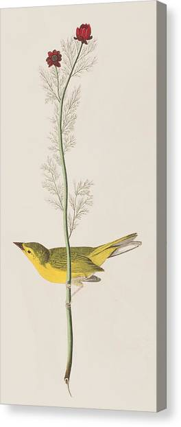 Warbler Canvas Print - Hooded Warbler by John James Audubon