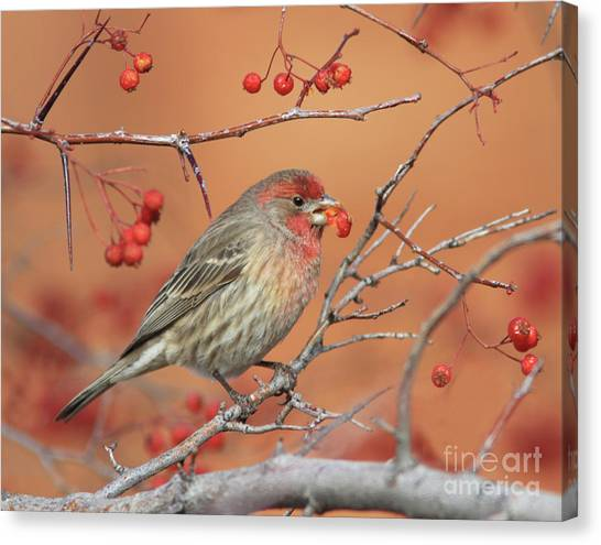 Canvas Print - House Finch by Gary Wing