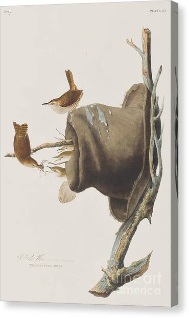 Wrens Canvas Print - House Wren by John James Audubon