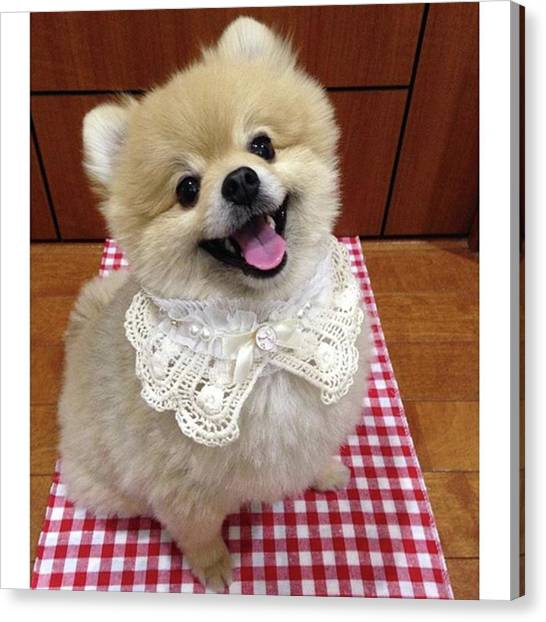Pomeranians Canvas Print - How Do I by Masato Fukai