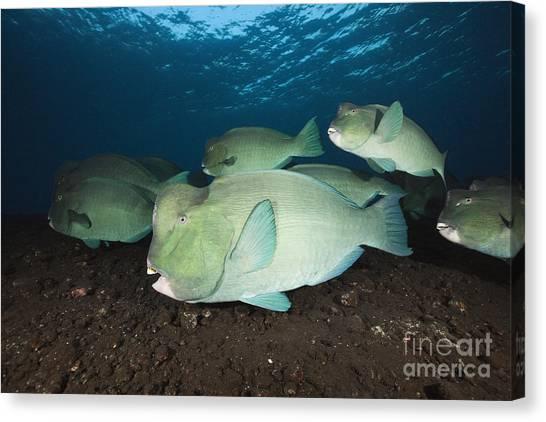 Parrot Fish Canvas Print - Humphead Parrotfish by Reinhard Dirscherl