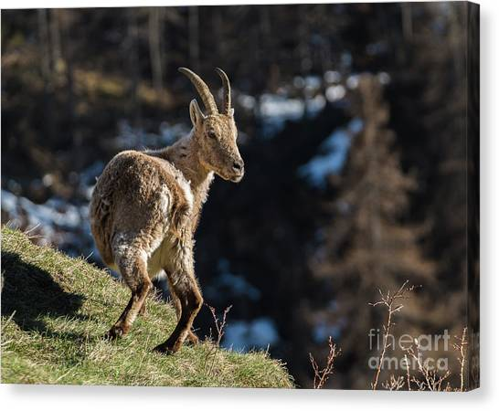 Ibex On The Mountains Canvas Print