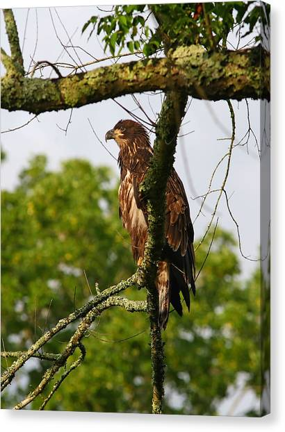 Immature Bald Eagle Canvas Print by James Jones