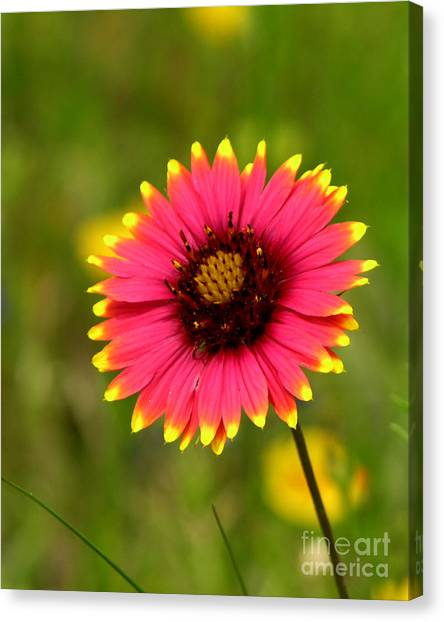 Indian Blanket Canvas Print by Paul Anderson