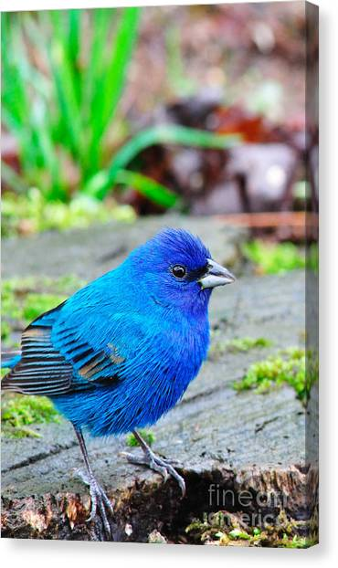 Bunting Canvas Print - Indigo Bunting by Thomas R Fletcher
