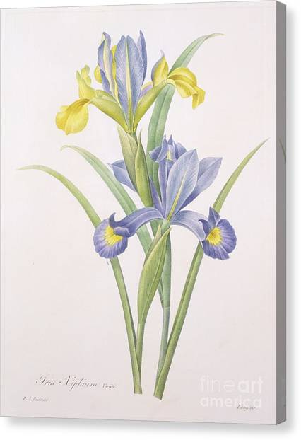 Flower Drawings Canvas Print - Iris Xiphium by Pierre Joseph Redoute