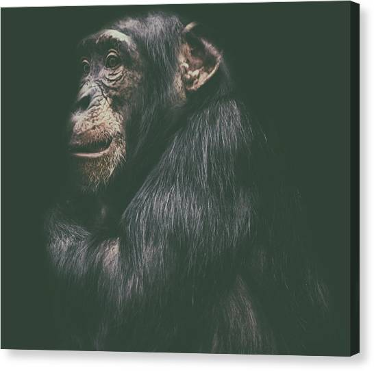 Chimpanzees Canvas Print - Its Cold Outside by Martin Newman
