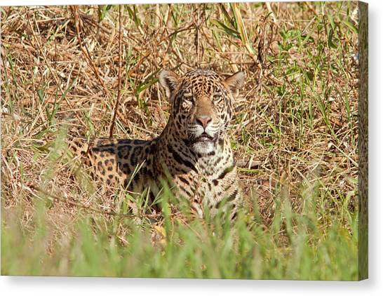 Jaguar Watching Canvas Print