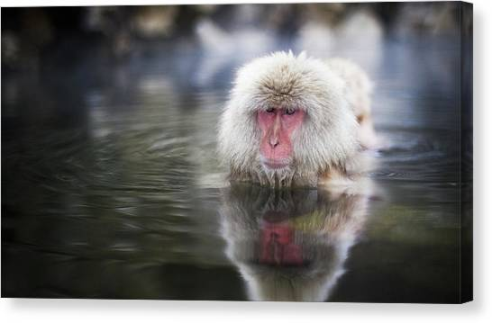 Primates Canvas Print - Japanese Macaque by Jackie Russo