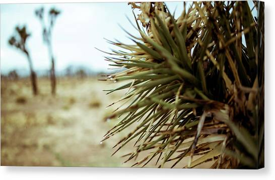 Joshua Tree Canvas Print
