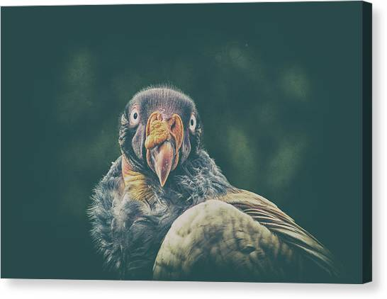 Condors Canvas Print - King Vulture by Martin Newman