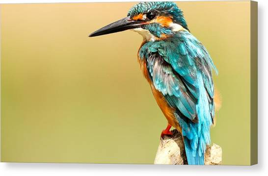 Kingfisher Canvas Print - Kingfisher by Emma Brown