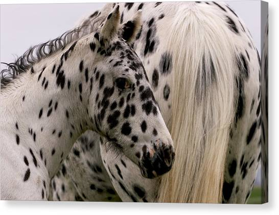 Knabstrupper Foal Canvas Print