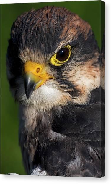 Lanner Falcon Canvas Print