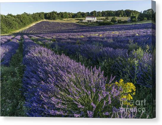 Canvas Print featuring the photograph Lavender Field Provence  by Juergen Held