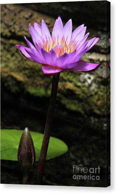 Lavender Water Lily #4 Canvas Print