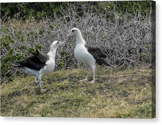 Laysan Albatross Hawaii #2 Canvas Print