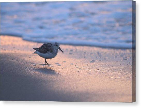 Canvas Print featuring the photograph Least Sandpiper At Dawn by Robert Banach
