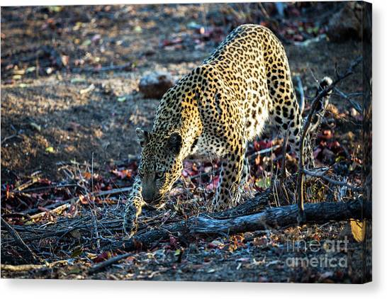 Leapords Canvas Print - Leopard On The Prowl by Daryl L Hunter