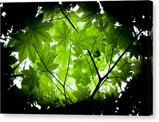 Light On Maple Leaves Canvas Print by Jonathan Hansen