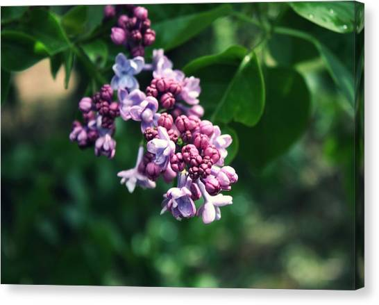 Lilac Canvas Print by Cathie Tyler