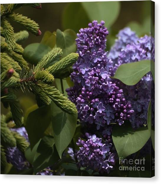 Lilac Bush Canvas Print - Lilacs In Bloom by Marjorie Imbeau
