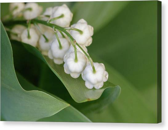 Lily Of The Valley Canvas Print by Rodger Werner