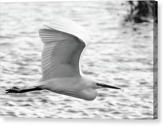 Little Egret Canvas Print