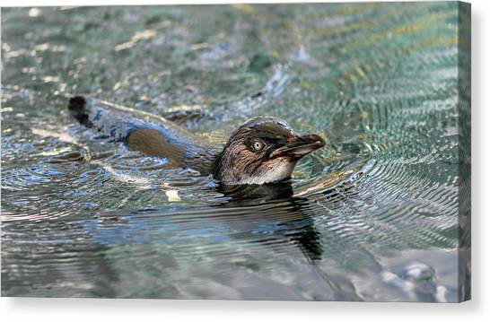 Little Penguin In The Water Canvas Print