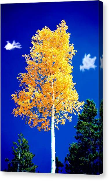 Lone Golden Aspen Canvas Print