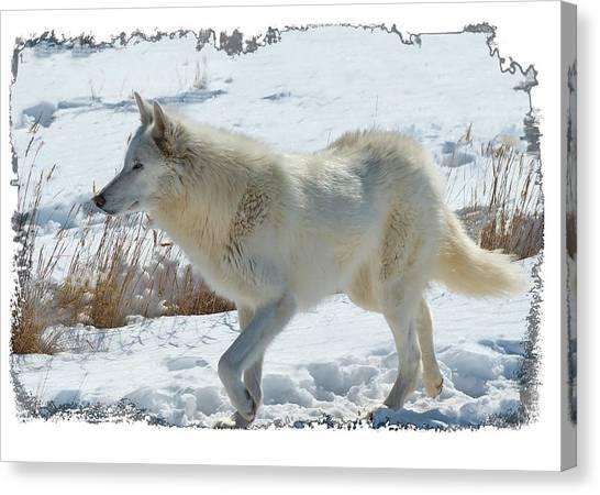 Lone White Wolf Canvas Print