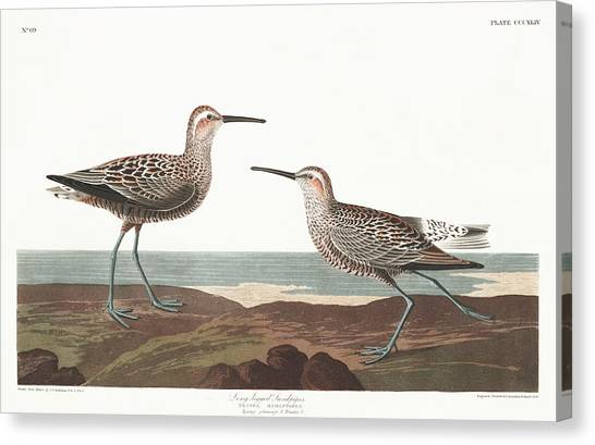 Sandpipers Canvas Print - Long-legged Sandpiper by John James Audubon
