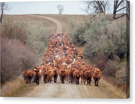 Angus Steer Canvas Print - Long Line Of Reds by Todd Klassy