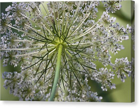 Queen Annes Lace Canvas Print - Look Up by Teresa Mucha