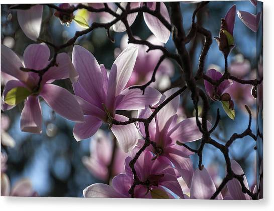 Magnolia Net - Canvas Print