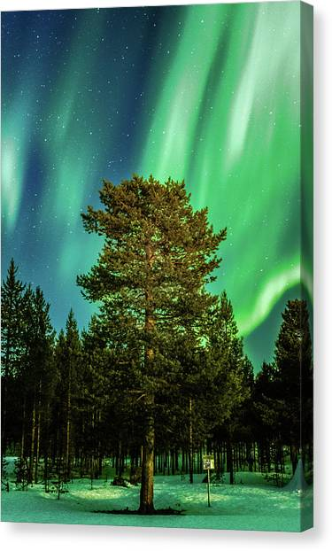 Majestic Tree Under The Northern Lights Karasjok Norway Canvas Print