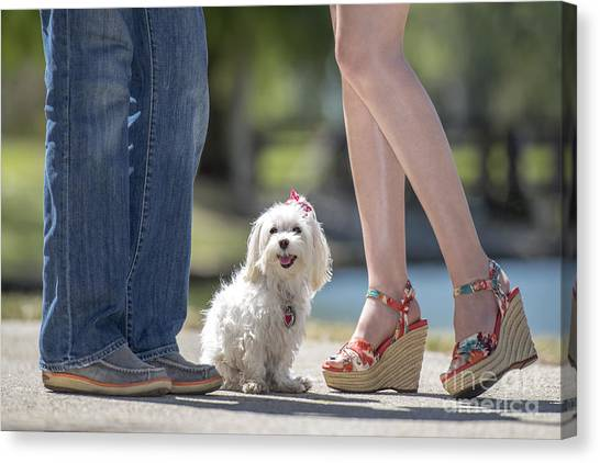 Maltese In The Middle Canvas Print